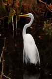 Great Egret in the Swamp Stock Photography