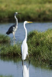 Great egret in a swamp at Arugam bay, Sri lanka Stock Photography