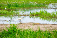 An Egret unaware of the crocodile near-by at Corroboree Wetlands. A Great Egret in the swamp is not aware of the danger is in from the crocodile near-by even if Royalty Free Stock Photography