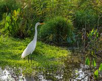 Great Egret in the Swamp royalty free stock photo