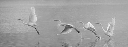 Great Egret. The Great Egret takes off from the river. Scientific name:Ardea alba Stock Photos