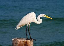 Great egret taking flight Stock Photos