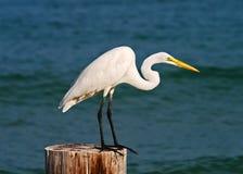 Great egret taking flight stock photos