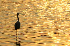 Great egret taking rest and watching sunset Stock Photo
