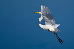 Great Egret Taking to Flight Stock Image