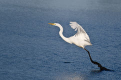 Great Egret Taking to Flight from Muddy Pond Stock Photography