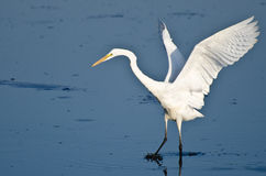 Great Egret Taking to Flight Royalty Free Stock Image