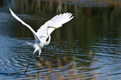 Great Egret Taking to Flight Royalty Free Stock Images