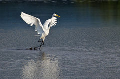 Great Egret Taking to Flight Royalty Free Stock Photography