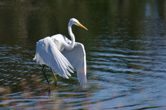 Great Egret Taking to Flight Stock Photos