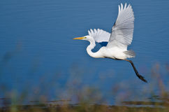 Great Egret Taking to Flight Stock Photo