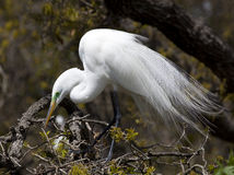 Great Egret in Tree. One Great Egret (Ardea alba) sitting in a tree during nesting season Stock Photography
