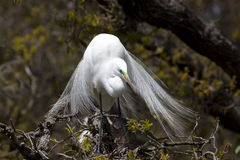 Great Egret in Tree Facing Front. One Great Egret (Ardea alba) sitting in a tree during nesting season, facing front, tail feathers gracefully splayed Royalty Free Stock Image