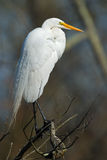 Great Egret in tree. Stock Photography