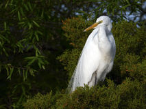 Great Egret in Tree Stock Images