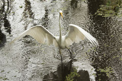 Great egret wading with big wings outspread in the everglades. Great egret wading with big wings outspread in a shallow pool of water, searching for a meal at Royalty Free Stock Photography
