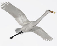 Great Egret. The Great Egret is a wading bird which is found in lakes, ponds, rivers catching fish and crabs Stock Image