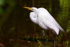 Great Egret wading in Florida wetland. Close-up shot of a Great Egret wading in the mangroves of Sanibel Island, Florida stock photo