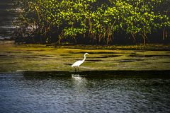Great Egret Wading by a Mangrove Island. Solitary great egret wading at the edge of a mangrove island in a Florida lagoon as the evening sunlight shines on its royalty free stock photography