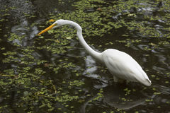Great egret wading in shallow water of the Florida Everglades. Great egret wading in shallow pool of water searching for a meal at Corkscrew Swamp in the Stock Images