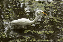 Great egret wading in shallow water of the Florida Everglades. Great egret standing in a shallow pool of water at Corkscrew Swamp in the Florida Everglades Royalty Free Stock Images