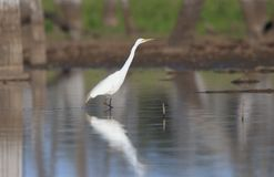 Great Egret wading in shallow water wetland stock photography