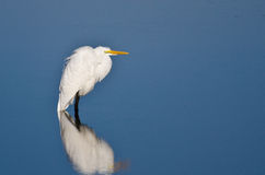 Great Egret Wading in Shallow Water Stock Images