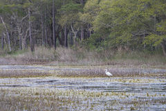 Great Egret wading in South Carolina marsh. Looking for a meal, a white egret (Ardea alaba) stalks the edge of the grass in a marsh on Edisto Island, near stock photography