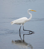 Great Egret Walk Stock Image