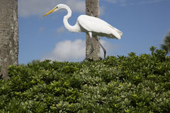 Great Egret walking on a green plant hedge Stock Image