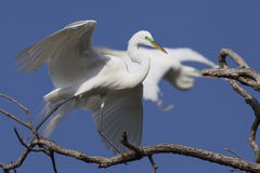 Great egret walking in tree Royalty Free Stock Image