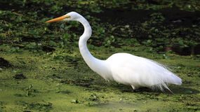 Great Egret. This Great Egret was fishing along a narrow river in Sawgrass Lake Park in the John A Anderson Environmental Center in St. Petersburg Florida Royalty Free Stock Photography