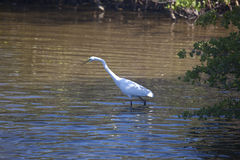 Great Egret in Water. Great egret (Ardea alba) hunting for food in a river on Sanibel Island, Florida Stock Images