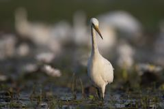 Egret in water lily pond. Great Egret in water lily pond stock photos