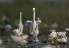 Egret in water lily pond. The Great Egret in water lily pond stock images