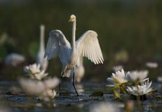 Egret in water lily pond. The great Egret in water lily pond in the morning royalty free stock images
