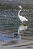 The Great Egret on the Water at Malibu Beach in August. (Bird Royalty Free Stock Photo