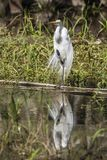 Great egret water reflection standing on one leg. In a swamp at Florida Everglades Big Cypress National Preserve Royalty Free Stock Photos
