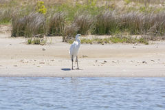 Great Egret on a Wetland Beach. In Pea Island National Wildlife Refuge on Cape Hatteras in North Carolina Royalty Free Stock Photography