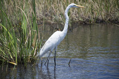 Great Egret, white bird in the Everglades swamp, United States Royalty Free Stock Photos