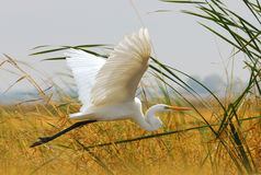 Great Egret (White Heron) Flying in the Grass. A white Heron at Yolo Bypass Wildlife area stock photo