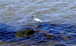 Great Egret or White Heron sitting on rocks stock images