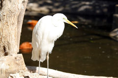 A great egret Stock Photography