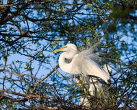 Great Egret in the Wild Stock Photo