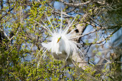 Great Egret in the Wild Stock Photography