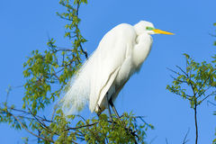 Great Egret in the Wild Royalty Free Stock Images