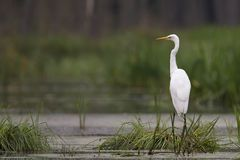 Great Egret in the wild Royalty Free Stock Photography