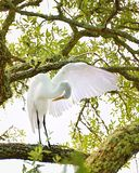 Great Egret. With a wing spread Royalty Free Stock Photography