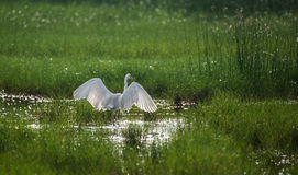 Great Egret Wings Stock Photos