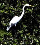 A Great Egret #2. This is a Winter picture of a Great Egret in the Everglades located in Big Cypress National Preserve in Ochopee, Florida in Collier County royalty free stock photos
